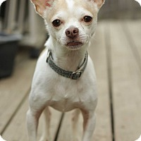 Adopt A Pet :: Scooter - Romeoville, IL