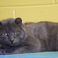 Domestic Shorthair Cat for adoption in Pottsville, Pennsylvania - Brut