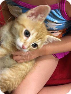 Domestic Shorthair Kitten for adoption in Burbank, California - Joey ADORABLE BABY KITTEN!