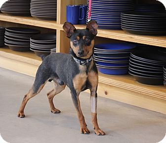 Manchester Terrier/Miniature Pinscher Mix Dog for adoption in San Francisco, California - Hermes