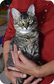 Domestic Mediumhair Kitten for adoption in Surrey, British Columbia - Evelyn