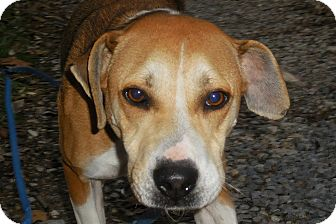 Hound (Unknown Type)/Labrador Retriever Mix Dog for adoption in Salem, West Virginia - Ms Marley