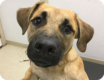 Boxer Mix Puppy for adoption in Grants Pass, Oregon - Zoey