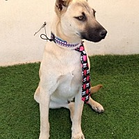 German Shepherd Dog/Labrador Retriever Mix Dog for adoption in San Diego, California - Oscar