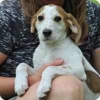 Adopt A Pet :: Oliver - SOUTHINGTON, CT