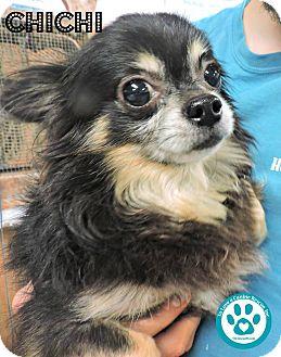 Chihuahua Mix Dog for adoption in Kimberton, Pennsylvania - Chichi
