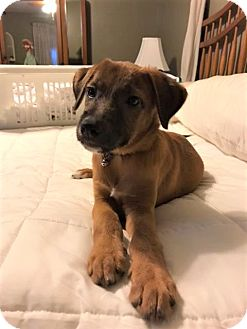 Terrier (Unknown Type, Medium)/Shepherd (Unknown Type) Mix Puppy for adoption in Middlesex, New Jersey - Jagger