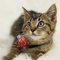 Adopt A Pet :: Max Male Kitten - Knoxville, TN