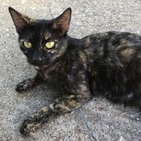 Adopt A Pet :: Lumiya - Garland, TX