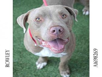 American Pit Bull Terrier Mix Dog for adoption in Los Angeles, California - ROWLEY