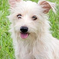 Adopt A Pet :: Poudre - Dallas, TX