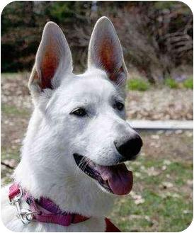 German Shepherd Dog Dog for adoption in Wayland, Massachusetts - Maggie
