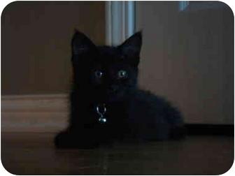 Domestic Mediumhair Kitten for adoption in Newburgh, Indiana - Huey