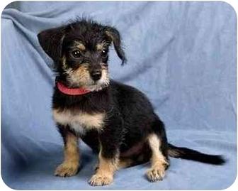 Yorkie, Yorkshire Terrier Mix Puppy for adoption in Anna, Illinois - ALLIE
