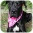 Photo 1 - Great Dane Mix Dog for adoption in Upland, California - Kaya