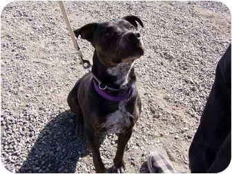 Pit Bull Terrier Mix Dog for adoption in Cedaredge, Colorado - Sadie