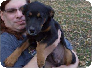 Rottweiler/Shepherd (Unknown Type) Mix Puppy for adoption in Edon, Ohio - Edge..ADOPTED