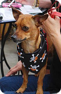 Chihuahua/Dachshund Mix Dog for adoption in White Settlement, Texas - Beanie aka Charlie-adopt pend