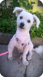 Poodle (Miniature) Mix Dog for adoption in Vista, California - George Hamilton