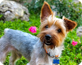 Yorkie, Yorkshire Terrier Mix Dog for adoption in Los Angeles, California - Romeo