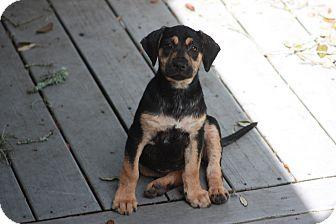 Retriever (Unknown Type) Mix Puppy for adoption in Largo, Florida - Amelia