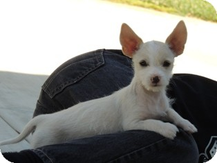 Corgi/Terrier (Unknown Type, Small) Mix Puppy for adoption in Tustin, California - Sam