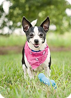 Chihuahua Mix Dog for adoption in Portsmouth, Rhode Island - Cricket-w/video!