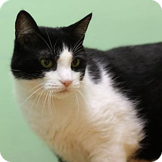 Domestic Shorthair Cat for adoption in Lyons, New York - Chase