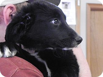 Border Collie/Pomeranian Mix Puppy for adoption in Buffalo, Wyoming - Moe