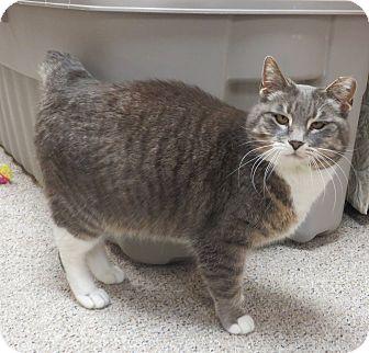 Domestic Shorthair Cat for adoption in Warren, Michigan - Billie Madison