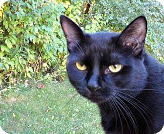 Domestic Shorthair Cat for adoption in Mt. Pleasant, Michigan - Sledge