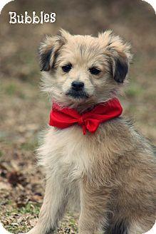 Schnauzer (Standard)/Pomeranian Mix Puppy for adoption in Glastonbury, Connecticut - Bubbles