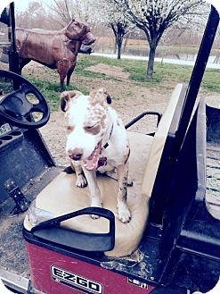 Blue Heeler/Catahoula Leopard Dog Mix Puppy for adoption in McKinney, Texas - Cherry
