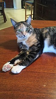 Domestic Shorthair Cat for adoption in Fort Lauderdale, Florida - Daisy Lu Lu