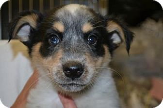 Australian Cattle Dog Mix Puppy for adoption in Edwardsville, Illinois - Jon Snow