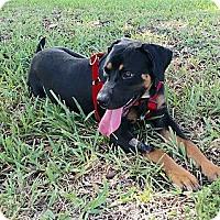 Adopt A Pet :: Ben - hollywood, FL