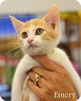 Domestic Mediumhair Kitten for adoption in Mansfield, Texas - Emery