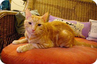 American Shorthair Cat for adoption in New York, New York - Emery