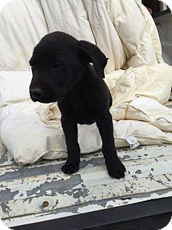Labrador Retriever/Catahoula Leopard Dog Mix Puppy for adoption in Matawan, New Jersey - Brady