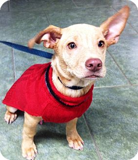 Shar Pei Mix Puppy for adoption in Ada, Oklahoma - MAGOO