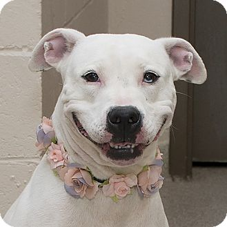 Pit Bull Terrier Mix Dog for adoption in Troy, Ohio - Marney AKA-Izzy