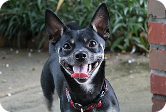 Chihuahua/Dachshund Mix Dog for adoption in Ocean Springs, Mississippi - Doc Doc