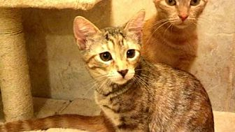 Domestic Shorthair Cat for adoption in Tyler, Texas - AA-Farren