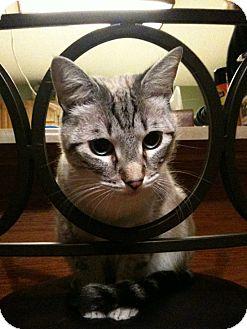 Domestic Shorthair Cat for adoption in Laguna Woods, California - Jasper