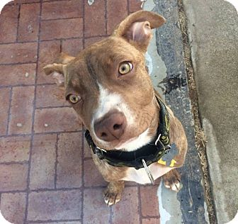 American Pit Bull Terrier Mix Puppy for adoption in Lincoln, California - PUPPY-Ripley!!