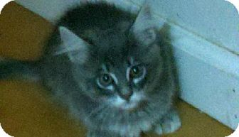 Domestic Longhair Kitten for adoption in Vacaville, California - Izzy