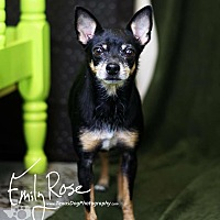 Chihuahua/Miniature Pinscher Mix Dog for adoption in Kaufman, Texas - Cali