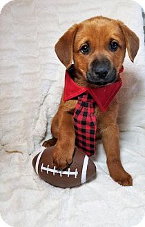 German Shepherd Dog/Labrador Retriever Mix Puppy for adoption in Newark, Delaware - Rusty