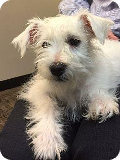 Schnauzer (Miniature)/Poodle (Miniature) Mix Puppy for adoption in Litchfield Park, Arizona - Cotton