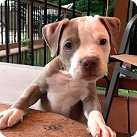 Adopt A Pet :: Nicky - Atlanta, GA